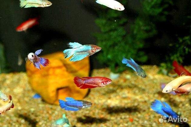 У ситцевой рыбки вздутый живот
