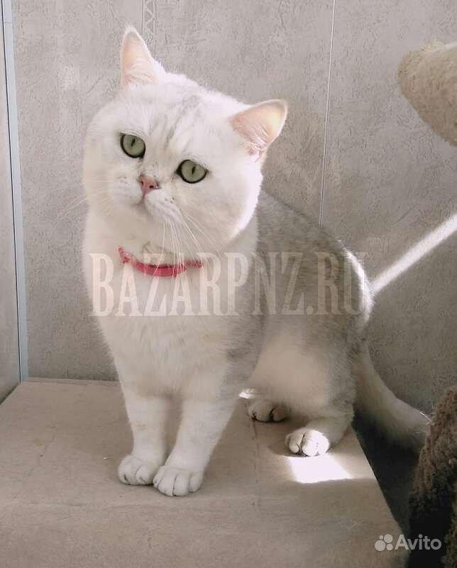 Шотландские котята в Пензе - фотография № 9