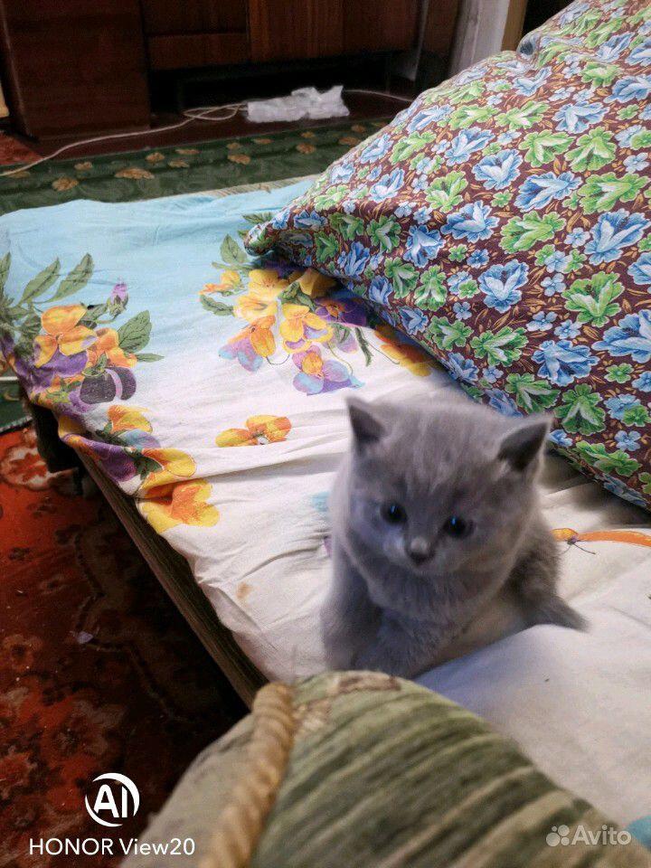 Британские котята в Краснодаре - фотография № 6