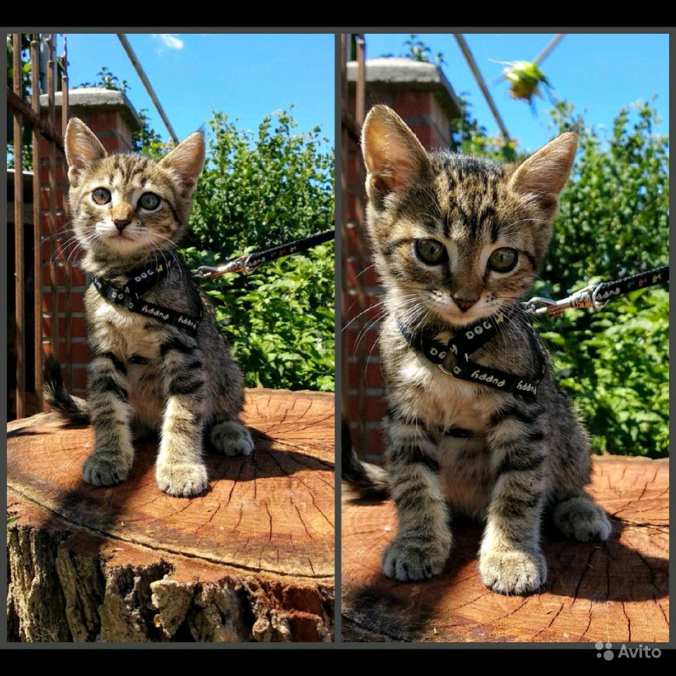 Котёнок, девочка, 2 месяца