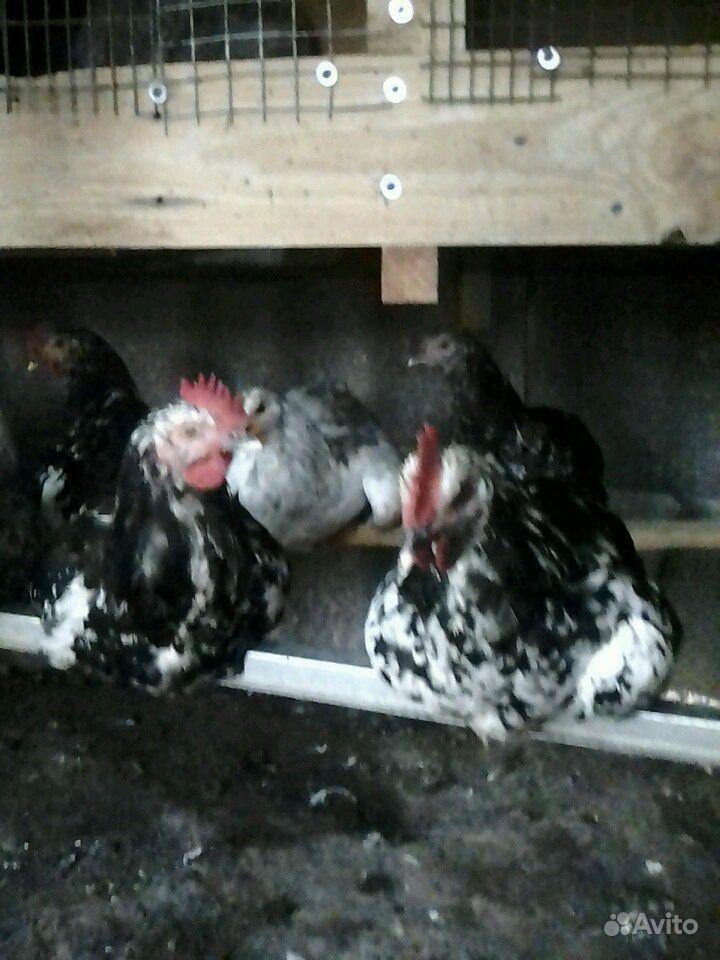 Ливенские ситцевые.петушки 4 месяца в Курске - фотография № 2
