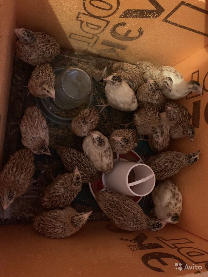 Петухи,перепёлки,утки