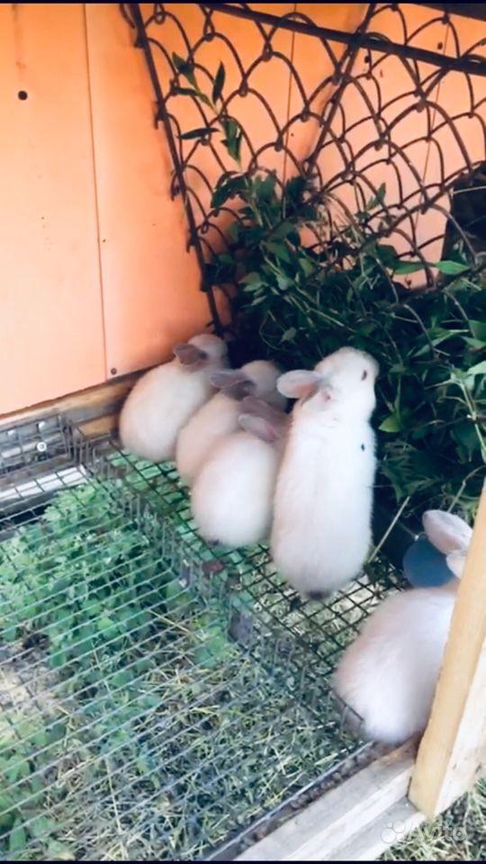 Крольчихи калифорнийской породы