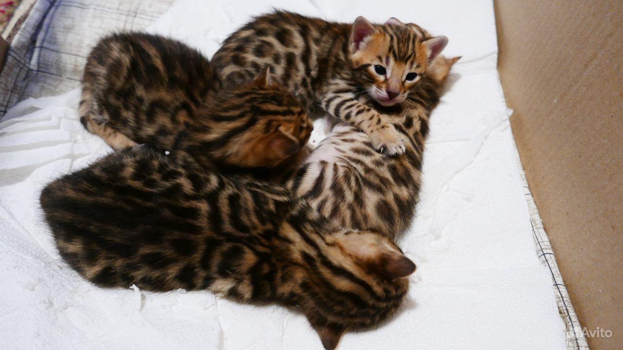Бенгальские котята - фотография № 2