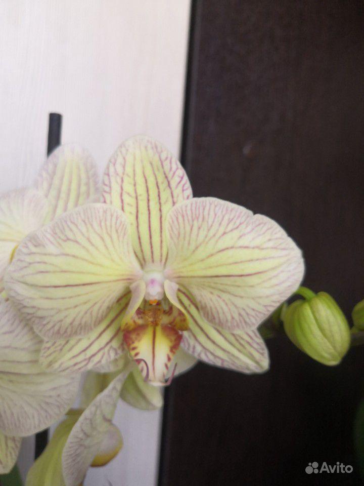 Орхидея фаленопсис купить на Зозу.ру - фотография № 6