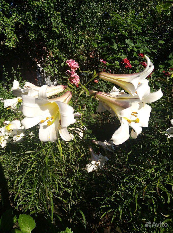 Продам лилии купить на Зозу.ру - фотография № 4