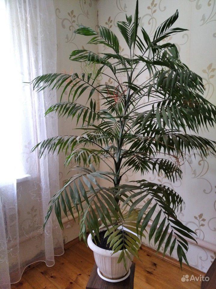 Пальма - красавица цветущая купить на Зозу.ру - фотография № 1