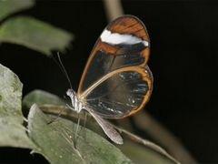 Живые экзотические бабочки Nemophora degeerella