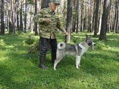 Лайка западно-сибирская