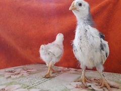 Цыплята 17 дней