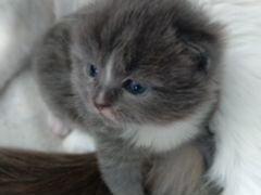 Котёнок от Шотландской кошки,папа Британец.21.05.2