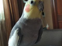 Улетел попугай корелла