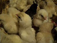 Цыплята и подрощенные петушки