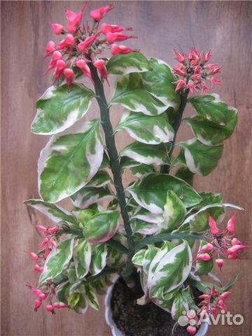 цветок педилантус фото