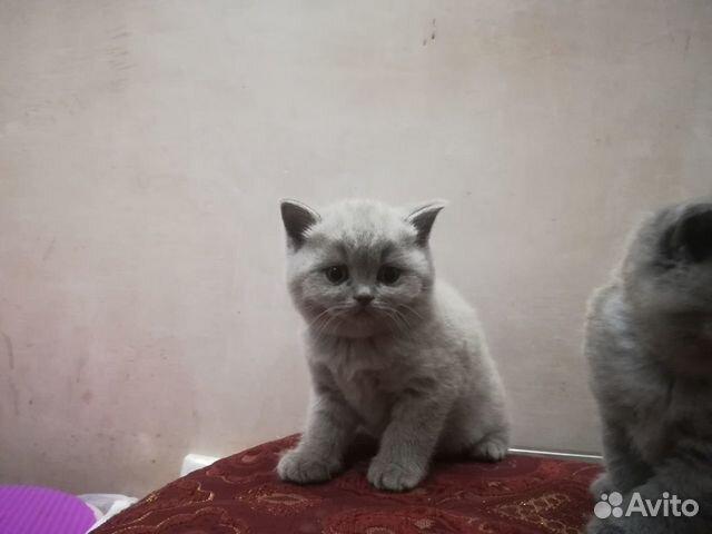Британский кот купить в хабаровске