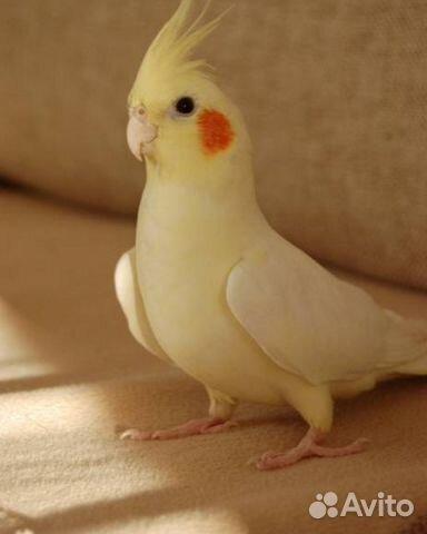 Попугай корелла лютино фото