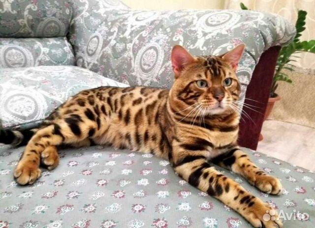 бенгальский кот фотографии