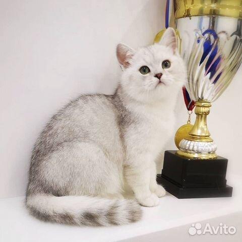 89137551177  Плюшевые британские котята