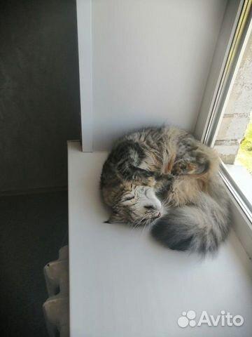 Кошка Мэйн-Кун  89102094513 купить 6