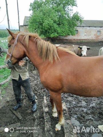 Лошадь 2,2 года  89507594295 купить 5