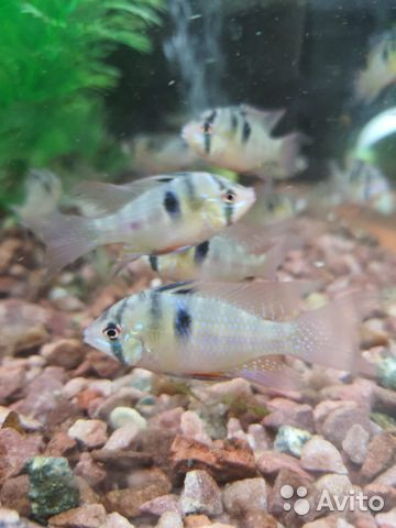 Поступление рыбы аквариумной  купить 10