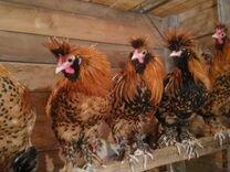Цыплята павловские