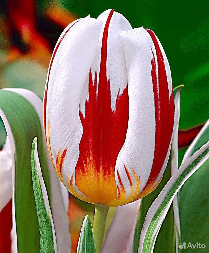 Тюльпаны  89092263980 купить 6