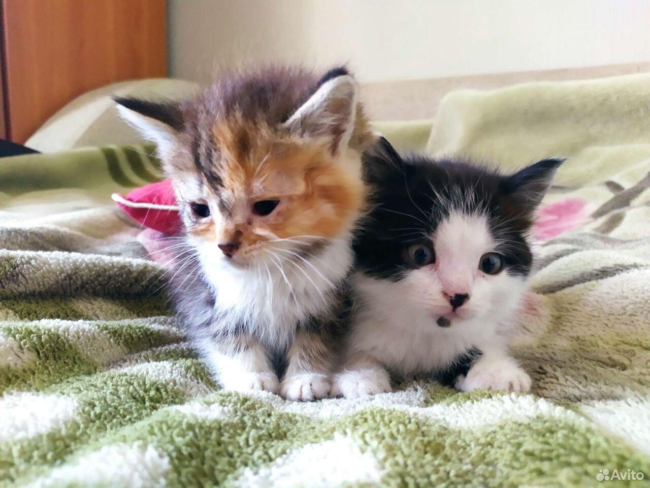 Kittens in good hands 89155032614 buy 2