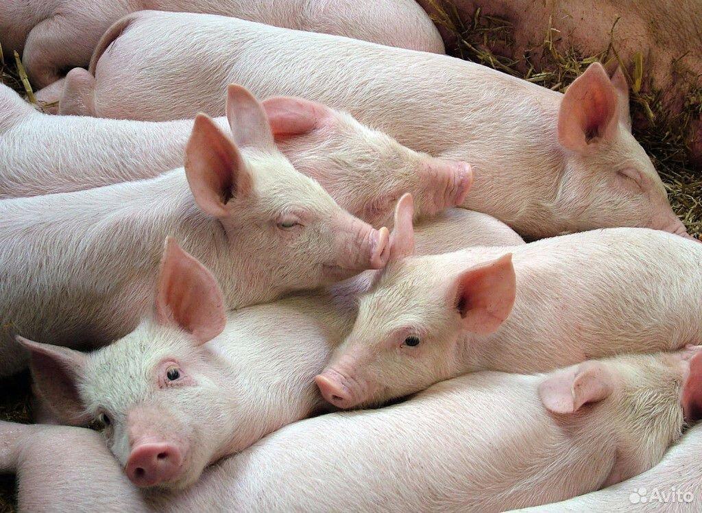 Поросят а мясной породы 89537105411 купить 1