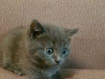 Британские котята-самые лучшие