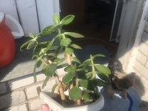 Денежное дерево цветы в горшке