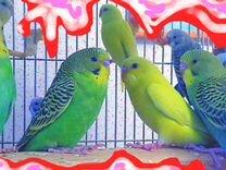 Попугаи волнистые, певчие, какарики, неразлучники