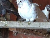 Турецкие поющие голуби
