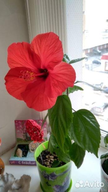 Гибискус (детки и взрослые растения)  89220007860 купить 6