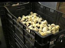 Цыплята суточные и подрощенные породы Австралорп