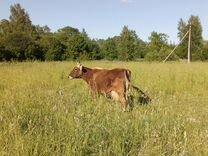 Корова 5 отелов