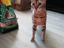 Бенгальские котята без документов, 1 месяц им