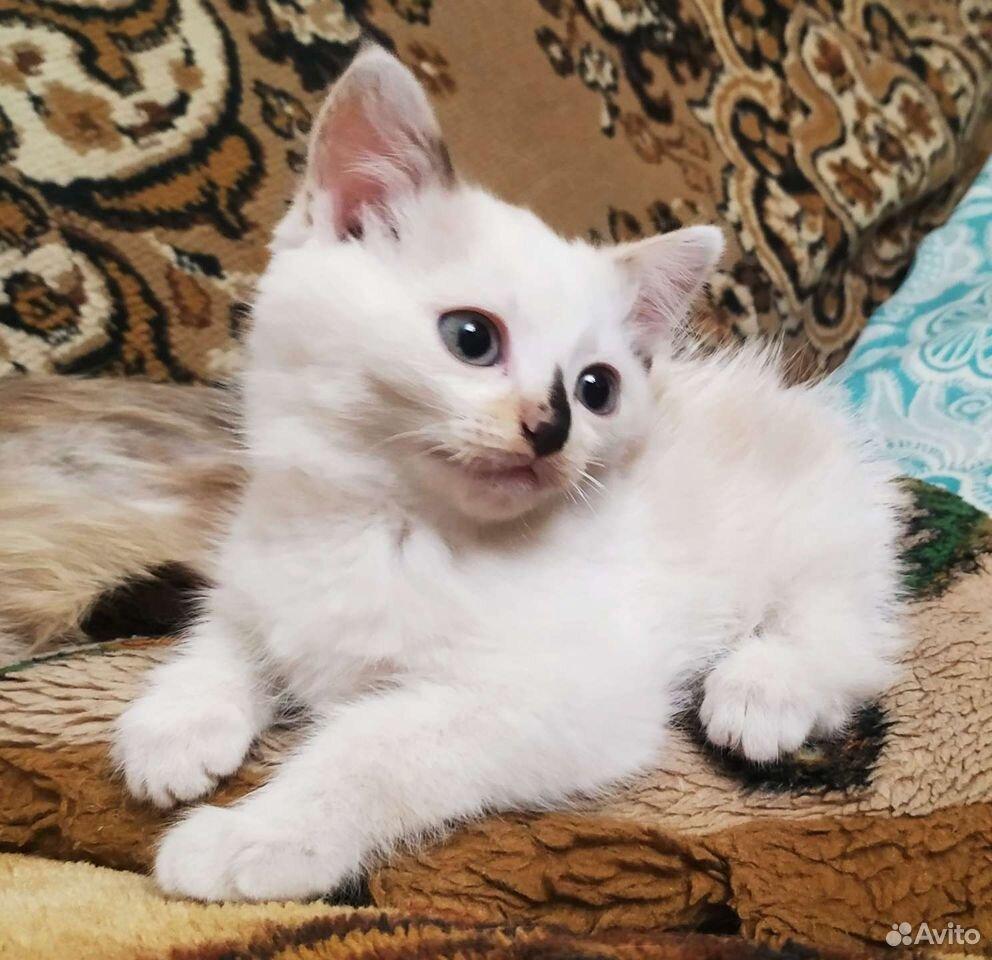 Кошка  89027334792 купить 3